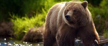 Медвежий жир применение